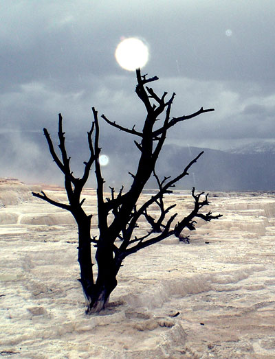 Dead tree in Yellowstone National Park